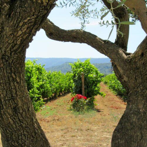 Vignes et oliviers en Provence